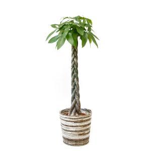 観葉植物 パキラ 10号鉢 大型 室内用 インテリア おしゃれ 通販 人気