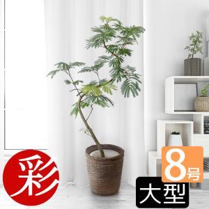 観葉植物 エバーフレッシュ 8号鉢 大型 室内用 インテリア おしゃれ 開店祝い お祝い 新築祝い 風水 室内 育てやすい ねむの木の画像