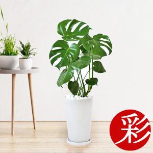 観葉植物 モンステラ スクエアホワイト陶器入り 室内 インテリア おしゃれ ヒメモンステラ 父の日