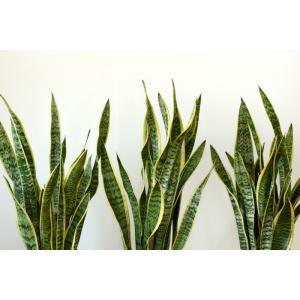 送料無料 サンスベリア・ローレンティー 選べる3色シンプルなスクエア陶器 観葉植物 父の日|saisyokukenbi|02