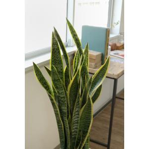 送料無料 サンスベリア・ローレンティー 選べる3色シンプルなスクエア陶器 観葉植物 父の日|saisyokukenbi|04