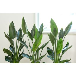 送料無料 ストレリチア・レギネ 選べる3色シンプルなスクエア陶器 観葉植物 父の日|saisyokukenbi|02