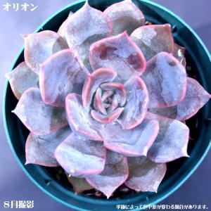 多肉植物【オリオン】【インテリア ミニグリーン観葉 】 7.5cmポット10個セットと同時ご購入でお得送料無料|sanbonyah