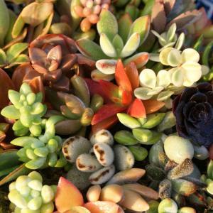 多肉植物10個セット お好きな種類が3個選べます。寄せ植えに ガーデニング 多肉 苗 送料込 7.5ポット|sanbonyah