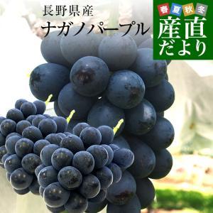 お一人様2箱まで 送料無料 長野県産 ナガノパープル 合計1.2キロ(2房から3房) ぶどう 葡萄 ※クール便|sanchokudayori