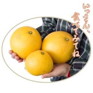 訳あり 土佐文旦 8kg 高知県産 ご家庭用|sancyokubin|04