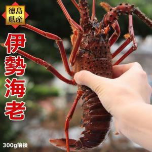 活伊勢海老 300g×1尾 徳島県産 天然伊勢エビ/産地直送/|sancyokubin