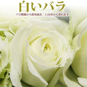 白いバラ 50cm×1本 ※20本以上(花束)トゲ取り無料/産地直送/※在庫お問い合わせください(平日0884-73-3944)|sancyokubin