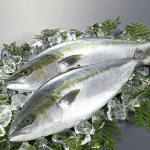 日本海産 天然ブリ(寒鰤) 8kg《送料無料》[予約]|sankousuisan