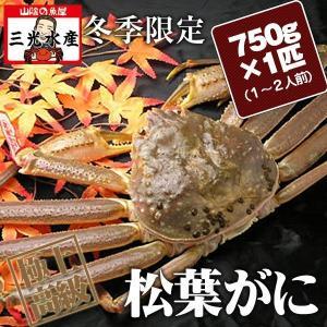 活きている松葉がに(松葉ガニ かに 活 松葉蟹 まつば  )750g×1匹(1〜2人前) タグ付 |sankousuisan