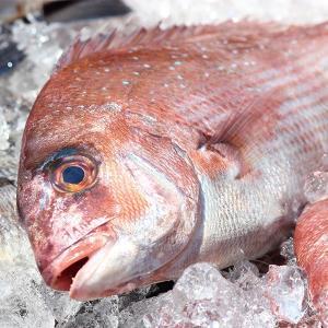 日本海境港産天然真鯛4kg以上《予約販売品》《送料無料》|sankousuisan