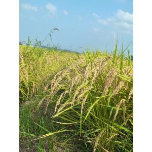 多古米 20kg 玄米 平成30年産 千葉県産 送料無料 幻の米 多古米|satono-okurimono|03