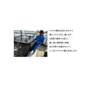 国産 鯉のあぶり刺身100g×3 コモリ食品 お中元のし対応可 sawayasouhonten 08