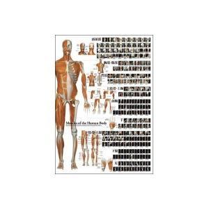 解剖ポスター 全身の骨格筋|scratch