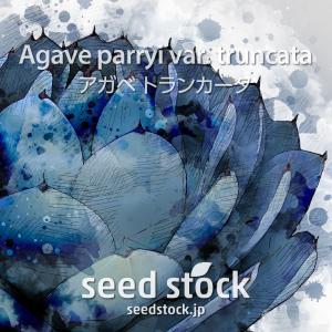 アガベの種子 トランカータ Agave parryi var. truncata