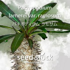 パキポディウムの種子 ラモサム Pachypodium lamerei var. ramosum