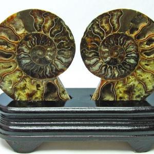 アンモナイト 化石 t761-2655|seian