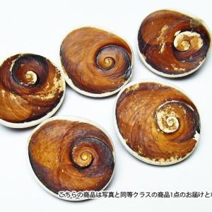 フォッシルシェル 貝 化石  置物 パワーストーン 天然石 t860-1|seian