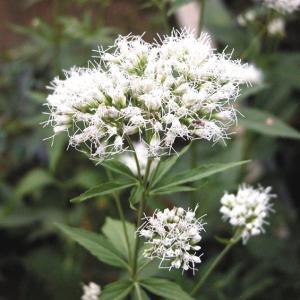 【山野草】白花フジバカマ|shikoku-garden