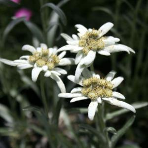 【山野草】エーデルワイス|shikoku-garden