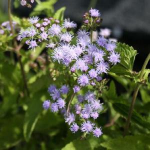【山野草】青花フジバカマ|shikoku-garden