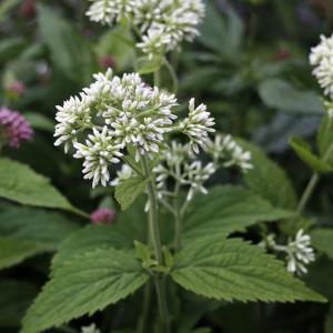 【山野草】白花玉咲フジバカマ 3号(9cmp)|shikoku-garden