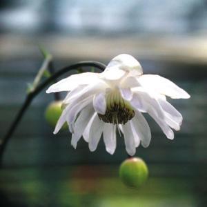 【山野草】八重咲レンゲショウマ|shikoku-garden
