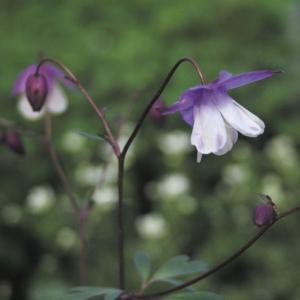 【山野草】二色風鈴オダマキ|shikoku-garden