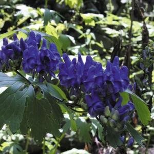 【山野草】オクトリカブト|shikoku-garden