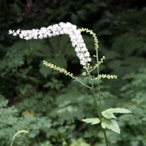 【山野草】サラシナショウマ|shikoku-garden