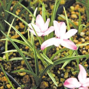 【山野草】斑入アッツ桜「六条錦」|shikoku-garden