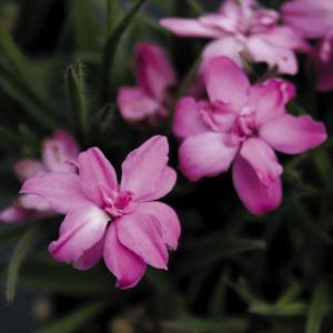 【山野草】桃八重アッツ桜|shikoku-garden