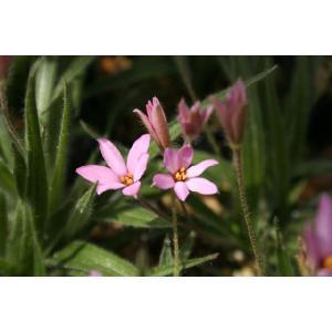 【山野草】桃花姫アッツ桜|shikoku-garden