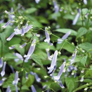 【山野草】秋丁子|shikoku-garden