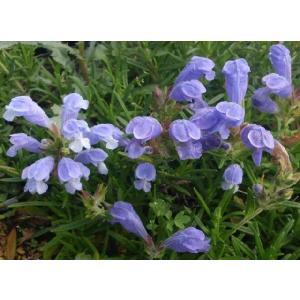 【山野草】ムシャリンドウ|shikoku-garden