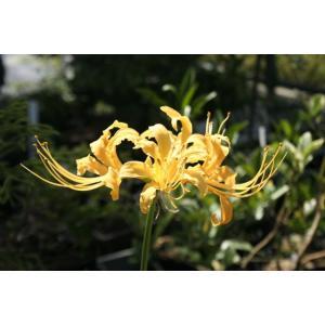 【山野草】黄花ヒガンバナ|shikoku-garden