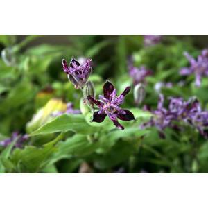 【山野草】黒花ホトトギス 3号(9cm)ポット植え|shikoku-garden