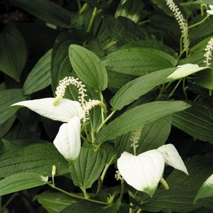 初夏に苞が白く染まる。お茶花に良く使われる湿地植物。 【耐寒性】強 【日照】日向  【水やり】普通 ...