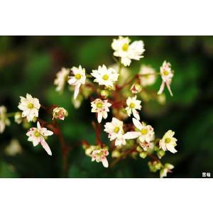 【山野草】大文字草「雪輪」 shikoku-garden