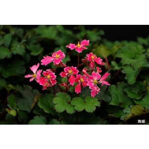 【山野草】大文字草「舞姫」 shikoku-garden