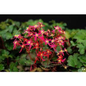 【山野草】大文字草「正美」 shikoku-garden