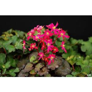 【山野草】大文字草「紅峰」 shikoku-garden