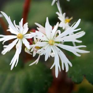 【山野草】大文字草「伊予白翠」 shikoku-garden
