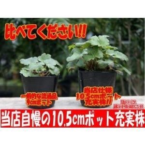 【山野草】大文字草「秋葉」|shikoku-garden|02
