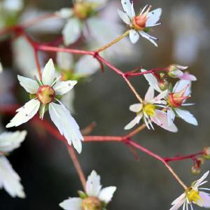 【山野草】大文字草「瀬戸緑」 shikoku-garden