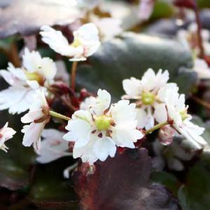 【山野草】大文字草「白梅」 shikoku-garden