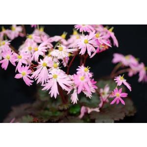 【山野草】大文字草「舞妓」 shikoku-garden
