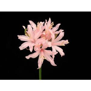 【ダイヤモンドリリー】ネリネ「ピンクフェアリー」|shikoku-garden