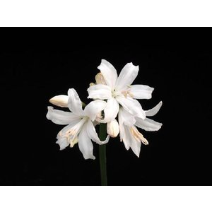 【ダイヤモンドリリー】ネリネ「エクスバリー・ホワイト」|shikoku-garden