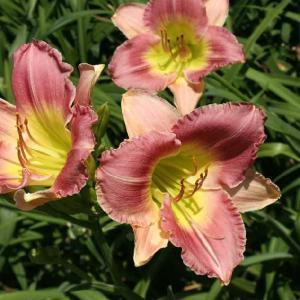 【宿根草】【ヘメロカリス】ファイナル・タッチ|shikoku-garden
